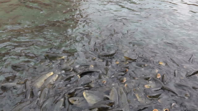 Fishes struggle for food video