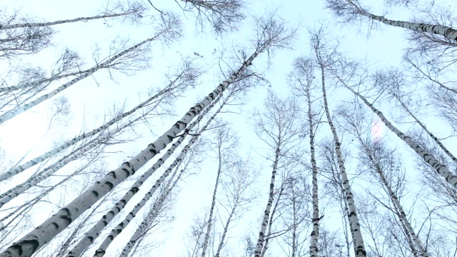 Fisheye view to the birch tops: wind moves tree trunks video