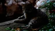 fishing cat (Prionailurus viverrinus ) , Tiger family in Thailand video