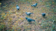 Five pigeons walk on the grass looking for food. Slow mo, slo mo video