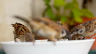 five Tree Sparrow hungry on bowl video