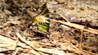 Fivebar swordtail peeing video