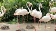 Flamingo bird falling in love video