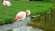Flamingo birds drinking water video