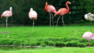 Flamingo birds on grass near lake video