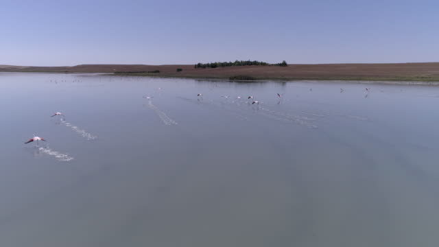 flamingo cluster in a shallow lake in anatolia video