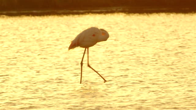 Flamingo searching for food in lake at beautiful sunset video