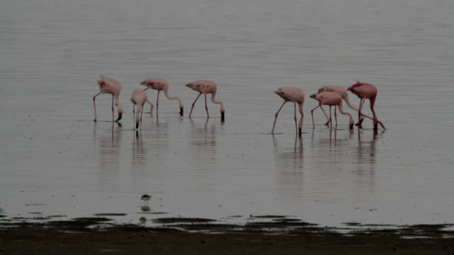 flamingoes walking and eating in the rain video