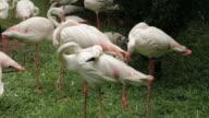 Flamingos Close Up video