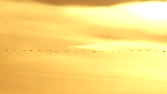Flamingos flying across sunset sky in straight line formation video