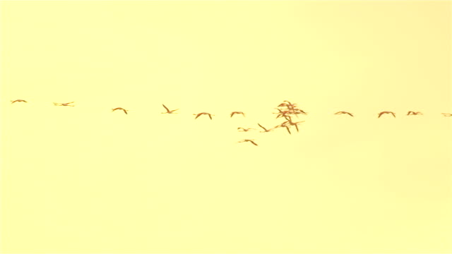 Flamingos flying against beautiful golden sky at summer sunset video
