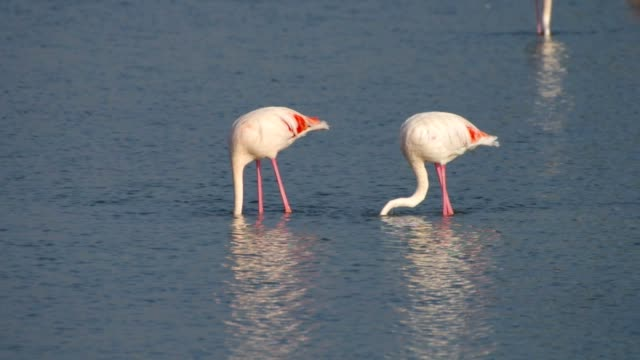 Flamingos in Camargue, Provence, France video