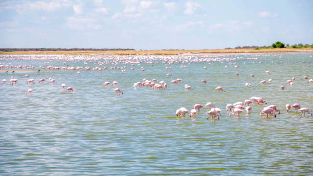 WS Flamingos In The Lagoon video