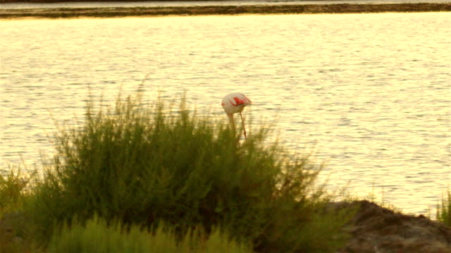 Flamingos in the lake at beautiful summer sunset video
