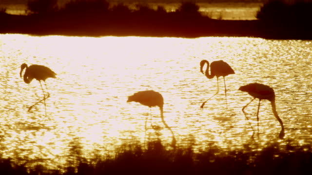 Flamingos in water at beautiful golden sunset video