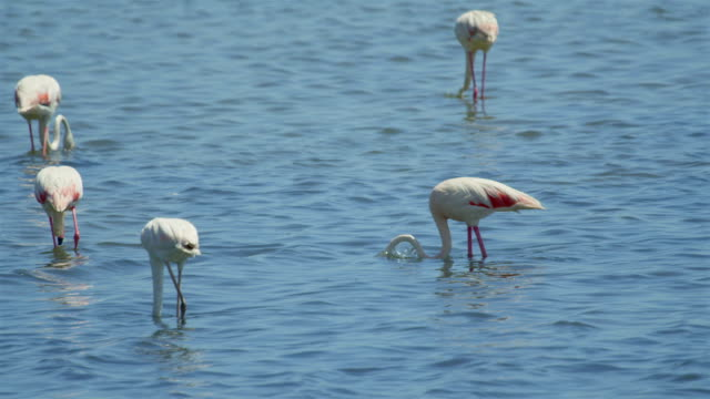 Flamingos looking for food in the water video
