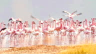 Flamingos near Bogoria Lake, Kenya video