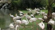 Flamingos Next to a Pond video