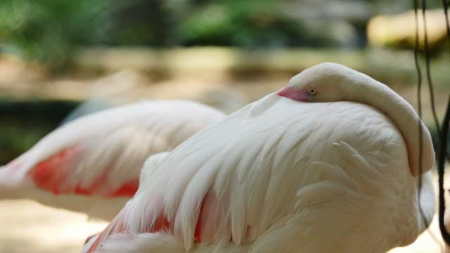 Flamingos resting. video