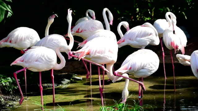 Flamingos Rushing Out of Water video