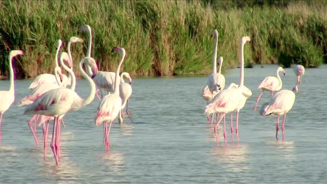 flamingos video