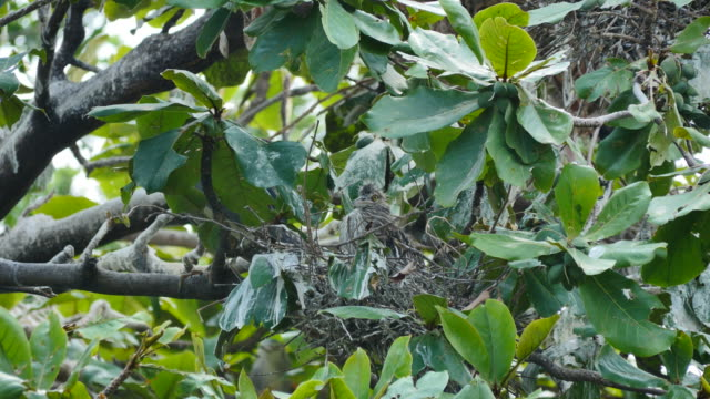Flapper in a nest on tree. video