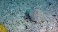 Flatfish (sole) video