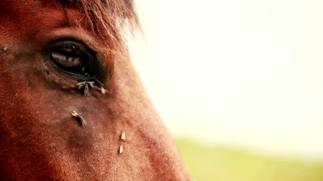 Flies on the horse's eyes video