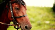 Flies sit on the head of a horse video