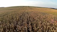 Flight above wheat field, aerial panoramic view. video