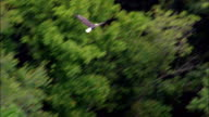 Flight Of Bald Headed Eagle  - Aerial View - Arkansas, Baxter County, United States video