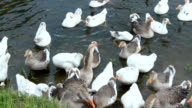 flight of young white geese swimming on the water video