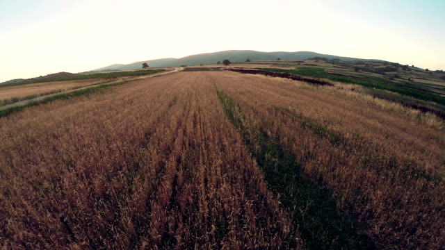 Flight over ripe wheat field video