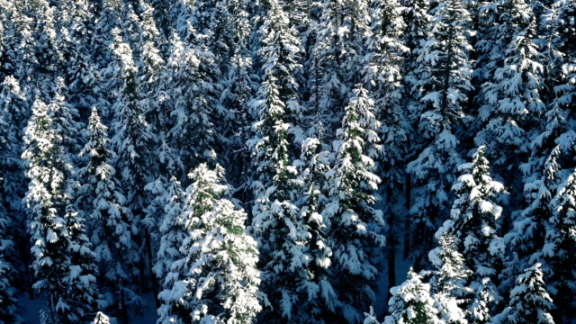 Flight Over Snowy Evergreen Trees video