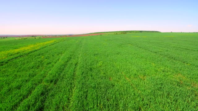 Flight over the field of green wheat on a bright sunny day. video