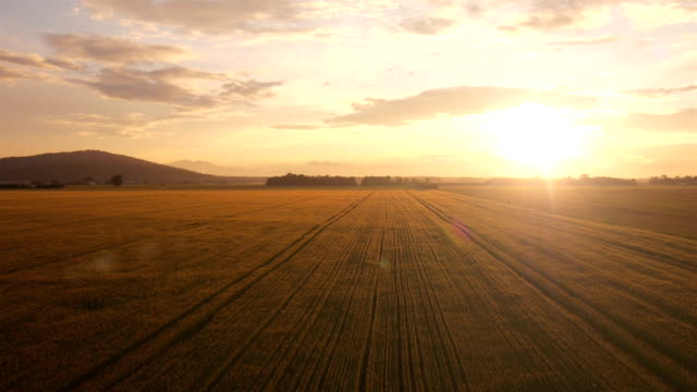 AERIAL: Flight over the wheat field at sunset video