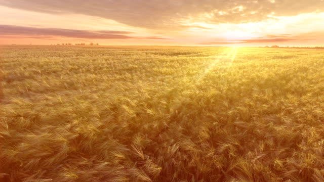 AERIAL. Flight over the wheat field in sunrise video