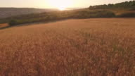 Flight over the wheat field in sunset near the city video
