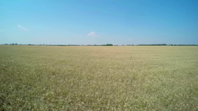 Flight over the Wheat Field. video