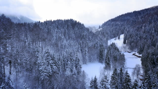 AERIAL Flight over the winter spruce tree forest video