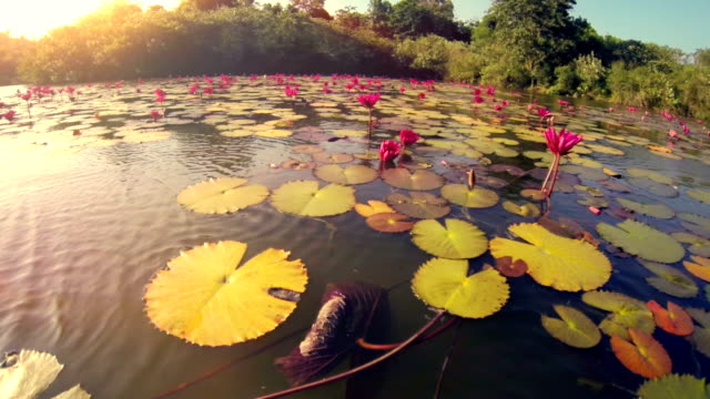 Floating around water lilies on lake in Thailand. video