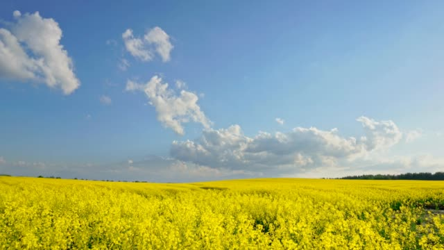 Floating clouds over the rapeseed field timelapse video