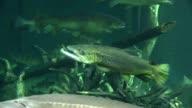 Floating fish in Aquarium video