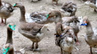 Flock geese on a rural farm video