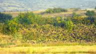 Flock of birds fly over rice harvest field Stock Video video