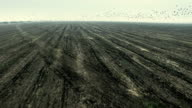 Flock of birds flying over plowed field. Aerial shooting video