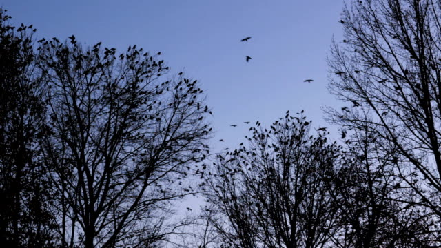 flock of birds gather in winter trees fly off together video