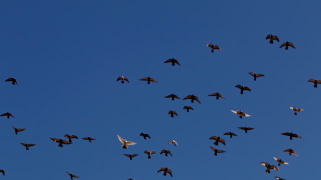 Flock of Birds in a Cloudless Sky video