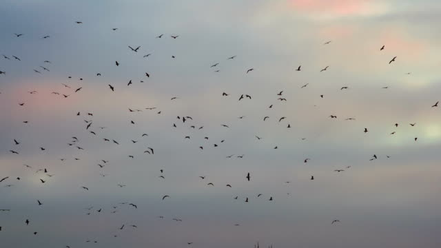 Flock of Birds in the Distance video