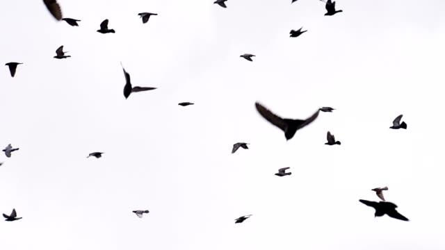 Flock of Birds on White video
